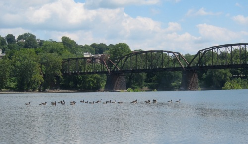 Ducks on the Lehigh River, Easton, PA