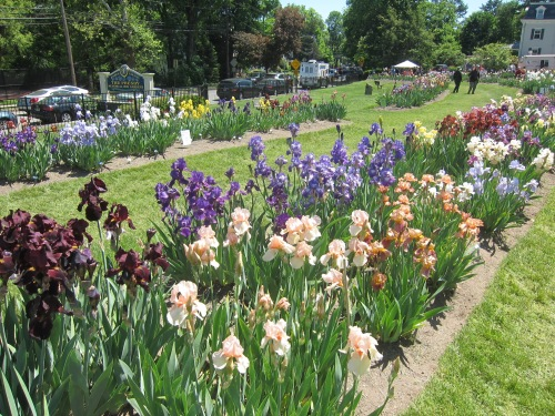 Irises at Presby Gardens, Upper Montclair, NJ