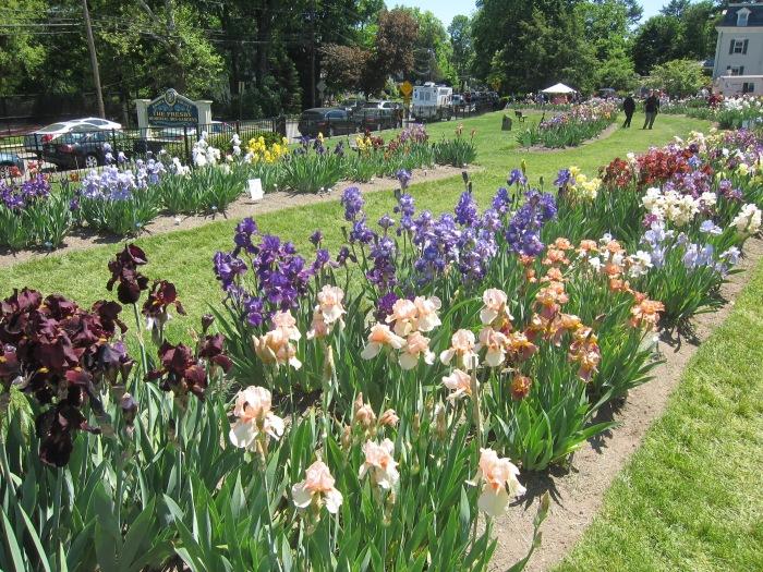 Irises at Presby Gardens, Upper Montclair, NJ