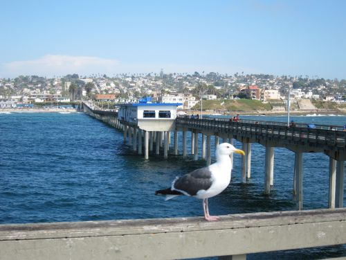 Seagull on OB Pier SD