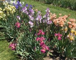 Presby Gardens Irises